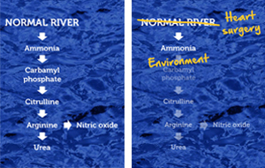 Think of the urea cycle as a river. A normal river flows to where it empties, similar to the process the body uses to rid itself of harmful ammonia via the urea cycle.
