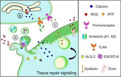 Tissue repair signaling illustration