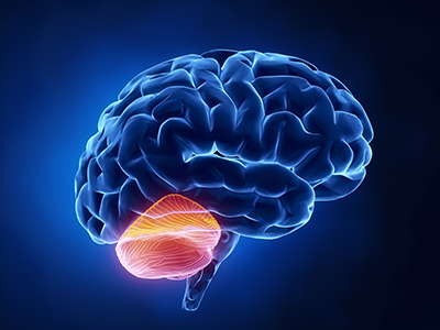 illustration of brain showing cerebellum