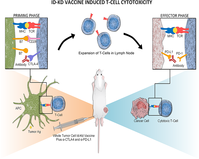ID-KD vaccine induced T-cell cytotoxicity